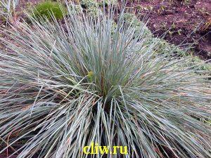 Овсец вечнозелёный (helictotrichon sempervirens) мятликовые (poaceae)