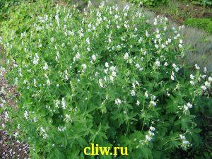 Герань темная (geranium phaeum) гераниевые (geraniaceae) alba