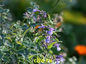 Котовник фассена (nepeta faassenii) губоцветные (lamiaceae) six hills giant