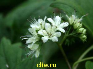 Гидрофиллум канадский (hydrophyllum canadense) водолистные (hydrophyllaceae)