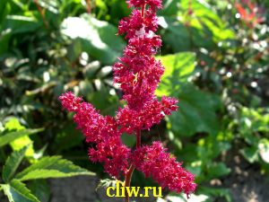Астильба арендса (astilbe arendsii) камнеломковые (saxifragaceae) fanal