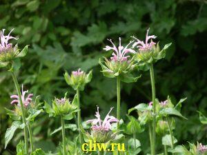 Монарда гибридная (monarda hybrida) губоцветные (lamiaceae) beauty of cobham