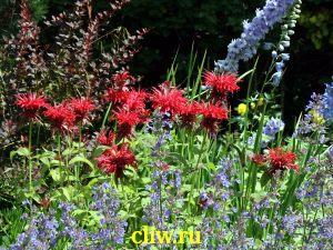 Монарда гибридная (monarda hybrida) губоцветные (lamiaceae) cambridge scarlet