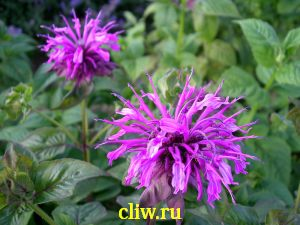 Монарда гибридная (monarda hybrida) губоцветные (lamiaceae) praire night