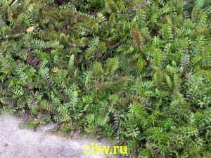 Котула шероховатая (cotula squalida) астровые (asteraceae)