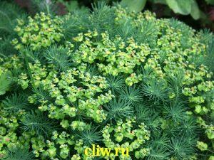 Молочай кипарисковый (euphorbia cyparissias) молочайные (euphorbiaceae)