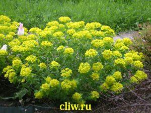 Молочай многоцветный (euphorbia polychroma) молочайные (euphorbiaceae)