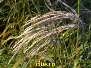 Мискантус китайский (miscanthus sinensis) мятликовые (poaceae)