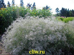 Гипсофила метельчатая (gypsophila paniculata) гвоздичные (caryophyllaceae)