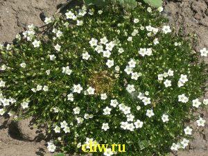 Мшанка шиловидная (sagina subulata) гвоздичные (caryophyllaceae)