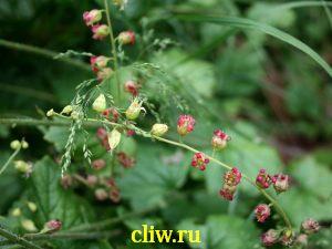 Теллима крупноцветковая (tellima grandiflora) камнеломковые () rubra
