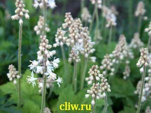 Тиарелла сердцелистная (tiarella cordifolia) камнеломковые (saxifragaceae)