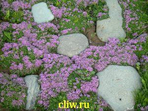 Тимьян карликовый (thymus pygmaeus) губоцветные (lamiaceae)