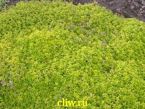 Тимьян лимоннопахнущий (thymus citriodorus) губоцветные (lamiaceae) aureus