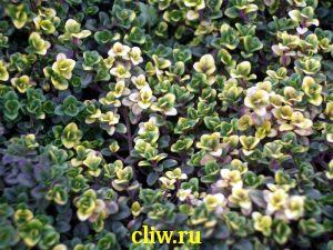 Тимьян лимоннопахнущий (thymus citriodorus) губоцветные (lamiaceae) donne valey
