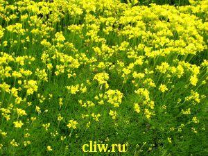 Крупка бруниелистная (draba bruniifolia) капустные (brassicaceae)