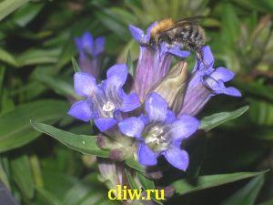 Горечавка семираздельная (gentiana septemfida) горечавковые (gentianaceae)