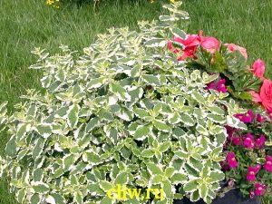 Мята душистая (mentha suaveolens) губоцветные (lamiaceae) variegata