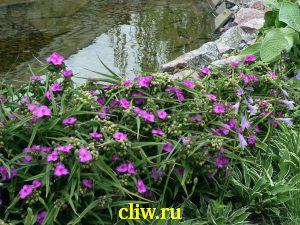 Традесканция андерсена (tradescantia andersoniana) коммелиновые (commelinaceae) carina