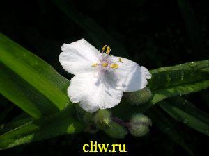 Традесканция андерсена (tradescantia andersoniana) коммелиновые (commelinaceae) eva