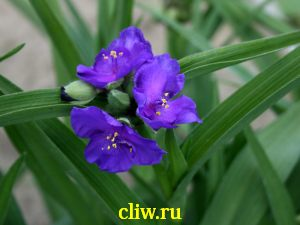 Традесканция андерсена (tradescantia andersoniana) коммелиновые (commelinaceae) isis