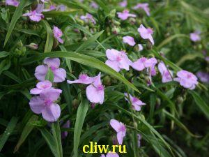 Традесканция андерсена (tradescantia andersoniana) коммелиновые (commelinaceae) rosi