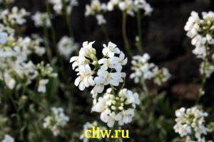 Арабис фердинанда кобургского (arabis fernandii coburgi) капустные (brassicaceae) variegata