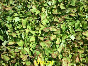 Горянка красная (epimedium rubrum) барбарисовые (berberidaceae)