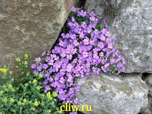 Обриета гибридная (aubrieta hybrida) капустные (brassicaceae)