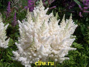 Астильба арендса (astilbe arendsii) камнеломковые (saxifragaceae) weisse gloria