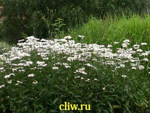Нивяник наибольший (leucanthemum maximum) астровые (asteraceae)