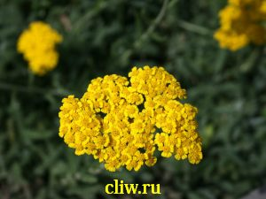 Тысячелистник войлочный (achillea tomentosa) астровые (asteraceae)