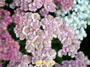 Тысячелистник обыкновенный (achillea millefolium) астровые (asteraceae)