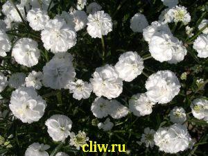 Тысячелистник птармика (achillea ptarmica) астровые (asteraceae) benarie's pearl