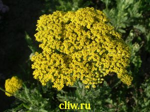 Тысячелистник таволговый (achillea filipendulina) астровые (asteraceae) coronation gold