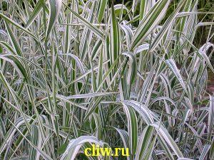 Фалярис тростниковый (phalaris arundinacea) мятликовые (poaceae) albomarginata