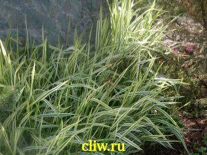 Фалярис тростниковый (phalaris arundinacea) мятликовые (poaceae) picta