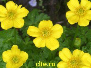 Купальница карликовая (trollius pumilus) лютиковые (ranunculaceae)