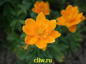 Купальница китайская (trollius chinensis) лютиковые (ranunculaceae)