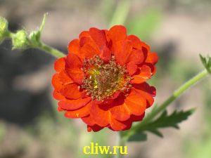 Гравилат чилийский (geum chiloense) розоцветные (rosaceae) mrs. bradshaw