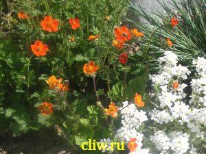 Гравилат ярко-красный (geum coccineum) розоцветные (rosaceae) borisii