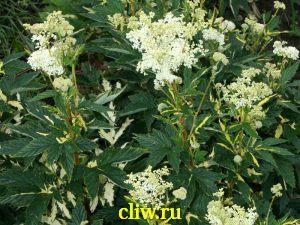 Лабазник вязолистный (filipendula ulmaria) розоцветные (rosaceae) aureovariegata
