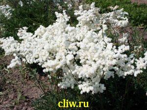 Лабазник обыкновенный (filipendula vulgaris) розоцветные (rosaceae) flore pleno