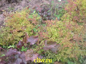 Арункус кокорышелистный (aruncus ) розоцветные (rosaceae)