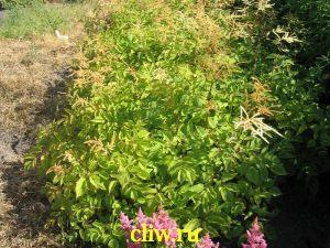 Арункус обыкновенный (aruncus dioicus) розоцветные (rosaceae)