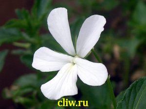 Фиалка рогатая (viola cornuta) фиалковые (violaceae) alba