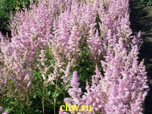 Астильба арендса (astilbe arendsii) камнеломковые (saxifragaceae) hyacinth