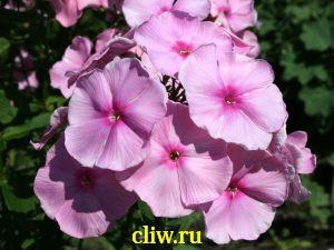 Флокс метельчатый (phlox paniculata) синюховые (polemoniaceae) elizabeth arden