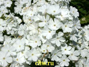Флокс метельчатый (phlox paniculata) синюховые (polemoniaceae) diplomat