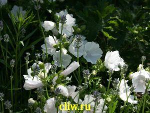 Лаватера тюрингская (lavahtera thuringiaca) мальвовые (malvaceae) ice cool